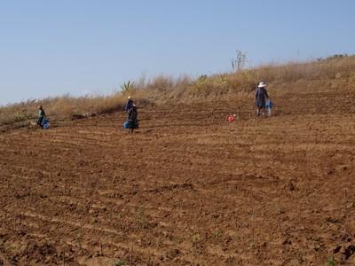 Lovoratori campi di Moringa