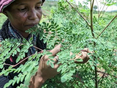 Lavoratrice e pianta di moringa