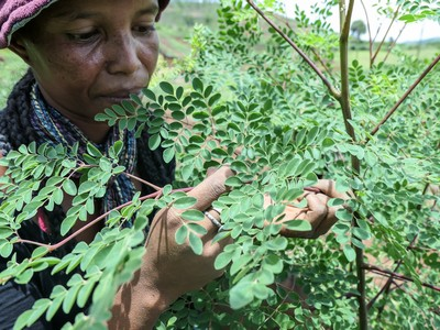 foglie della Moringa